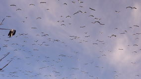 Large Flock Birds Geese Fly Overhead Southern Migration Wildlife Animals stock footage