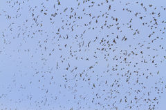 Large flock of birds with open wings Stock Images