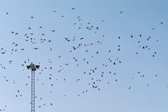 Large flock of birds in the sky. Electric lighting pole with large flock of birds in the sky Stock Image