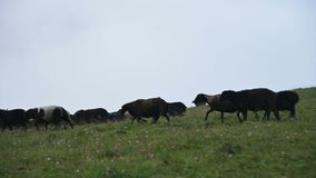 A large flock of black sheep runs down a mountain pasture downhill on a cloudy day with low cloudiness against a gray