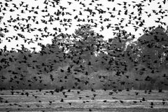 Large Flock of Blackbirds Stock Image