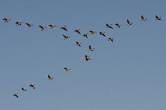 Large Flock of Canada Geese Stock Image