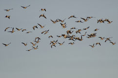 Large Flock of Canada Geese Royalty Free Stock Photo