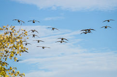 Large Flock of Canada Geese Coming in for a Landing Royalty Free Stock Image