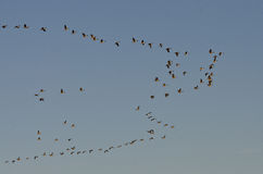 Large Flock of Canada Geese Royalty Free Stock Photos