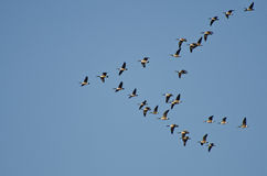 Large Flock of Canada Geese Stock Images