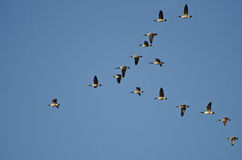 Large Flock of Canada Geese Royalty Free Stock Images