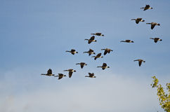 Large Flock of Canada Geese Flying in a Blue Sky Royalty Free Stock Images