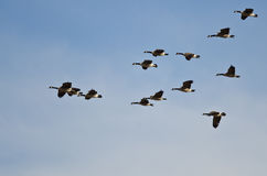 Large Flock of Canada Geese Flying in a Blue Sky Stock Photography
