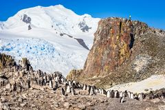 Large flock of chinstrap penguins standing on the rocks with sno. W mountain in the background, Half Moon island, Antarctic peninsula Royalty Free Stock Photo