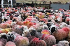 Large flock of colorful Herdwick sheep in farmyard. Close up of a large flock of Herdwick sheep covered in colorful markings. The sheep have just been brought Royalty Free Stock Image