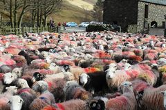 Large flock of colorful Herdwick sheep in farmyard. Large flock of Herdwick sheep covered in colorful markings, The sheep have just been brought into a farmyard Stock Images