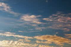 Flock of starlings at the sunset. Flock of starlings at sunset in a cloudy Roman sky Royalty Free Stock Photo