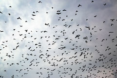 Large flock of crows Royalty Free Stock Photography