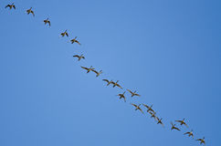 Large Flock of Ducks Flying in a Blue Sky Royalty Free Stock Photo