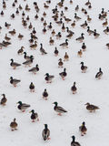 Large flock of ducks. A large flock of ducks on the snow Royalty Free Stock Image
