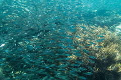 A large flock of fish in the ocean. Stock Photo