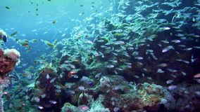 A large flock of fish Pigmy sweeper Parapriacanthus ransonneti on a background of a coral reef Red Sea Egypt. 4K stock footage