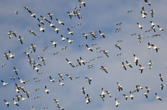 Large Flock of Flying Snow Geese Stock Photo