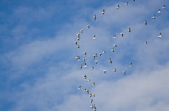 Large Flock of Flying Snow Geese Stock Images