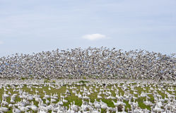 Large flock of geese Stock Photo