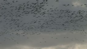 Large flock of geese in the sky stock video
