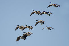 Large Flock of Geese Flying in Blue Sky Royalty Free Stock Image