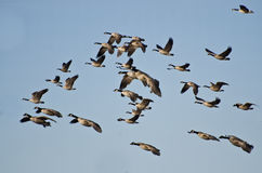 Large Flock of Geese Flying in Blue Sky Royalty Free Stock Images