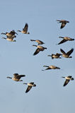 Large Flock of Geese Flying in Blue Sky Stock Photography