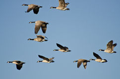 Large Flock of Geese Flying in Blue Sky Stock Photo