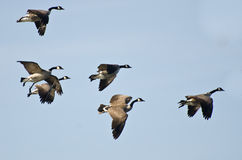 Large Flock of Geese Flying in Blue Sky Stock Image