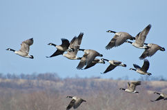 Large Flock of Geese Taking Flight Stock Photo
