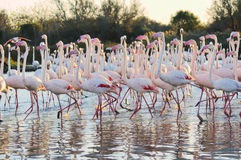 A large flock of greater flamingos Royalty Free Stock Image