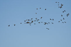 Large Flock of Greater White-Fronted Geese Flying in a Blue Sky Stock Photo
