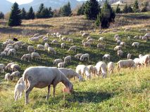 Large flock with many sheep grazing in the mountain. Large flock with many sheep grazing in the hill Stock Photo