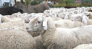 Large flock of many sheep with long ears and thick wool fur graz. Ing with donkeys Royalty Free Stock Image