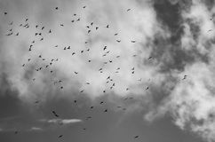 A large flock of one hundred crows flying to roost Stock Photo