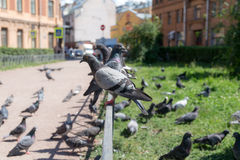 Large flock of pigeons Royalty Free Stock Images