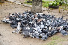 The large flock of pigeons Stock Images
