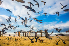 Large flock of pigeons taking off in  fright Royalty Free Stock Images