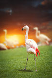 Large flock of pink flamingos. Royalty Free Stock Photo