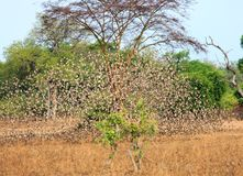 A large flock of Quelea Birds in flight - with motion blur in south luangwa, zambia royalty free stock photo
