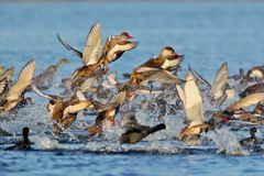 Large flock of red-crested pochard Netta rufina royalty free stock image