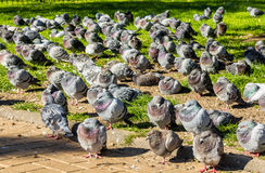 Large flock of resting feral pigeons Stock Image