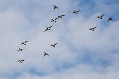 Large Flock of Ring-Necked Ducks Flying in a Blue Sky Stock Image