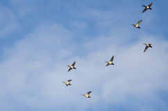 Large Flock of Ring-Necked Ducks Flying in a Blue Sky Stock Photo