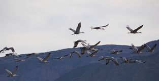 A large flock of Sandhill Cranes Stock Photos