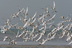 A large flock of a  Sandwich tern. Thalasseus sandvicensis in flight Stock Images
