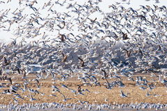 Large Flock of Seagulls Stock Photography