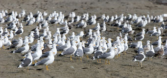 Large flock of seagulls on the beach all looking in the same direction except for one in the center. Stock Photo